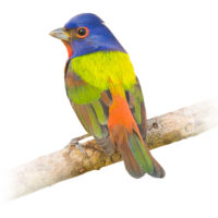 Painted Bunting on tree branch