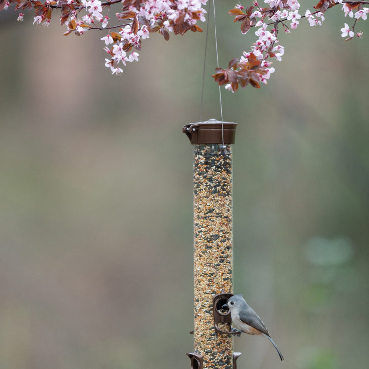 Tufted Titmouse eating from Stokes Select Metal Mixed Seed Bird Feeder