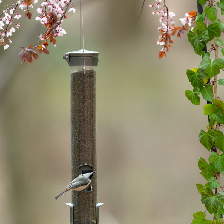 chickadee feeding from Stokes Select Metal Thistle Bird Feeder