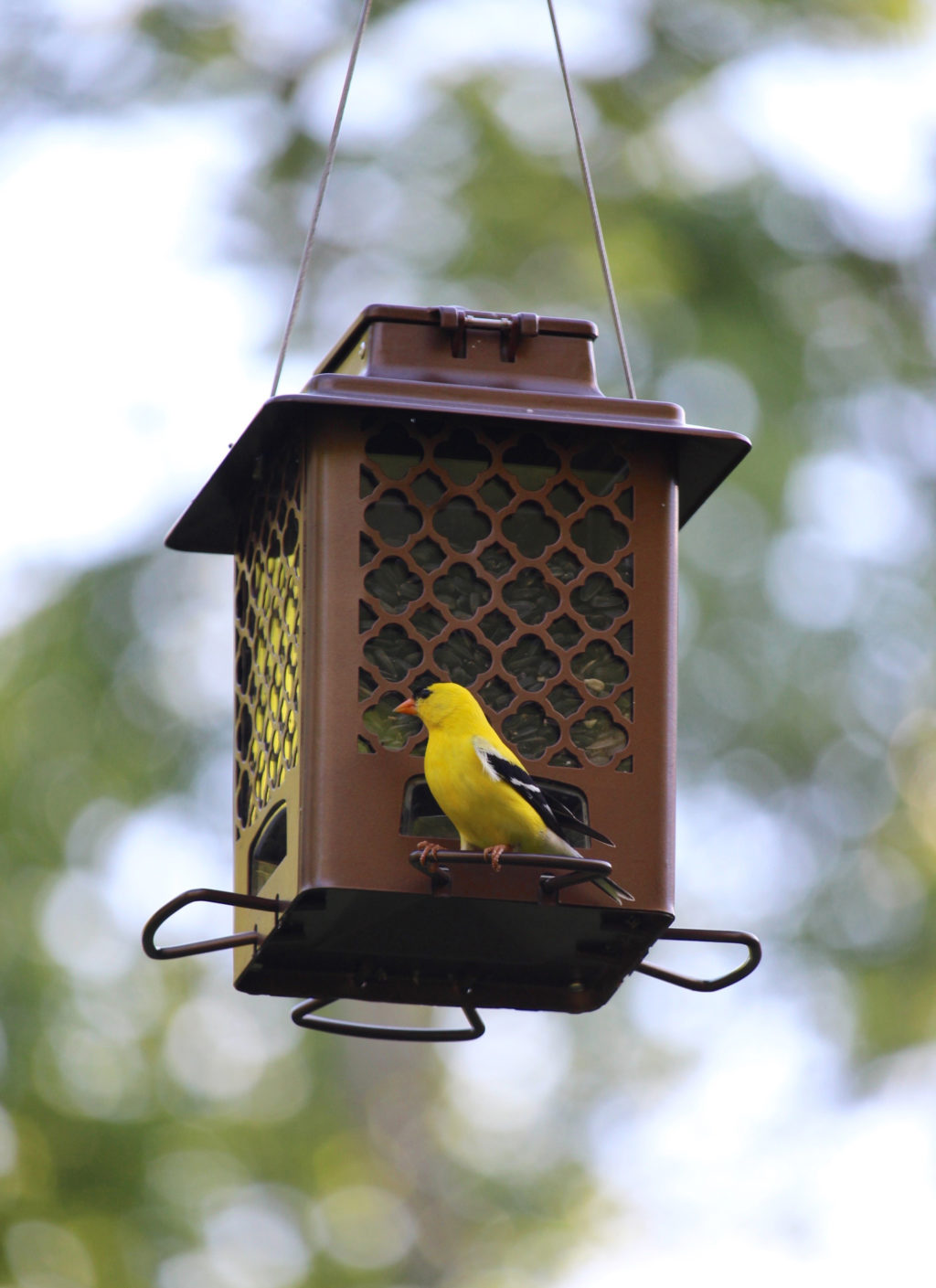 goldfinch on Stokes Select Metal Hopper Bird Feeder
