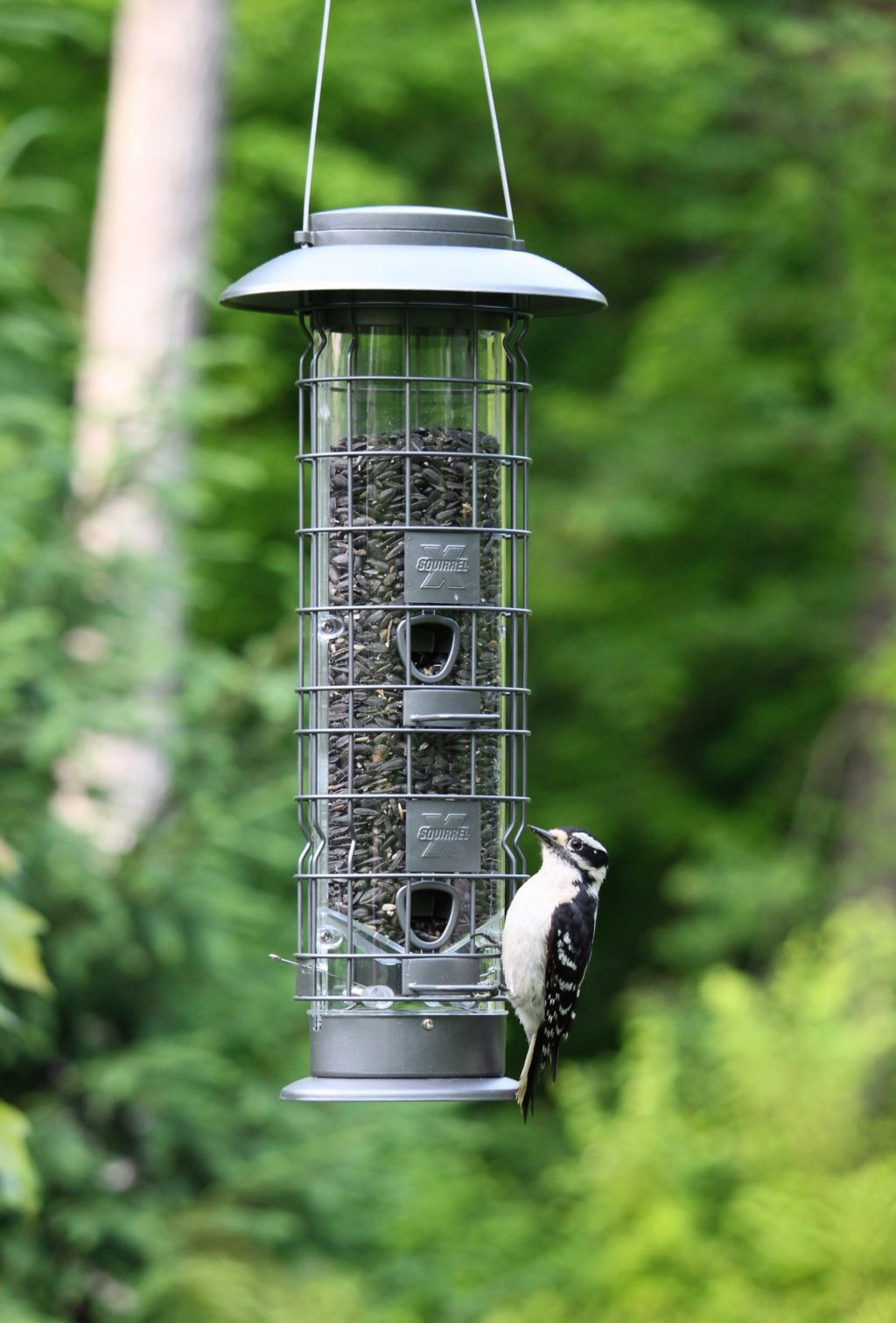 woodpecker feeding from Squirrel-X4 SureFill No Spill Squirrel-Resistant Bird Feeder
