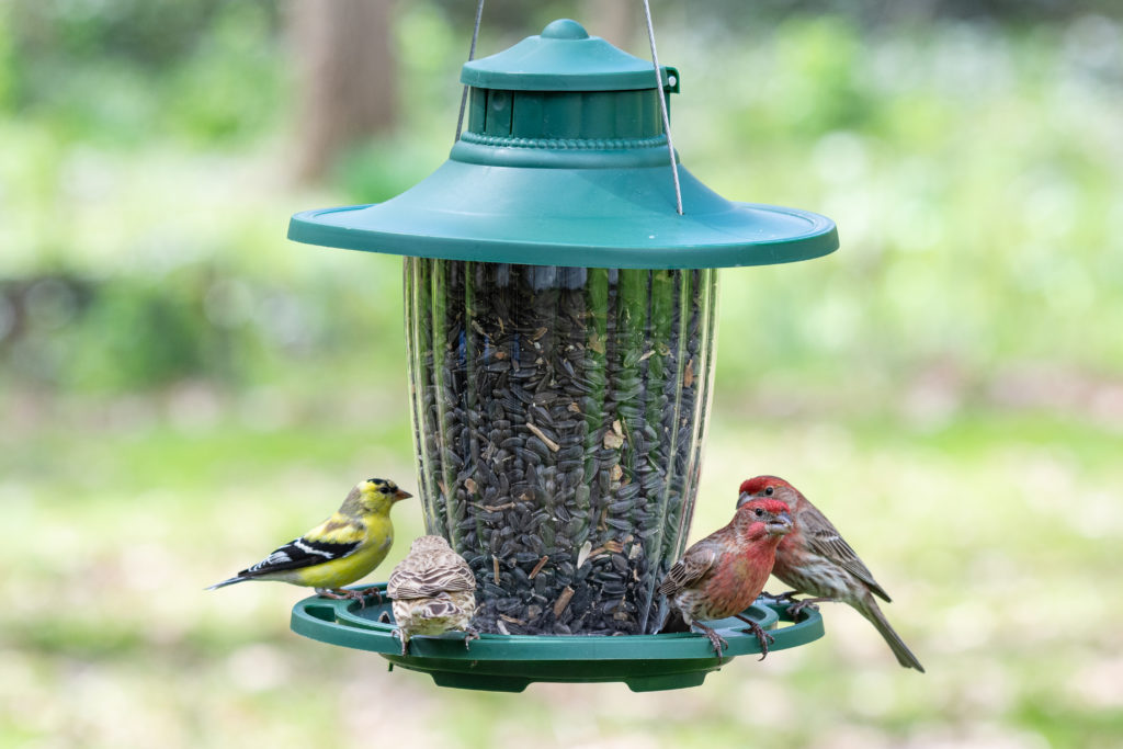 goldfinch and house finches feeding from Stokes Select large lantern bird feeder