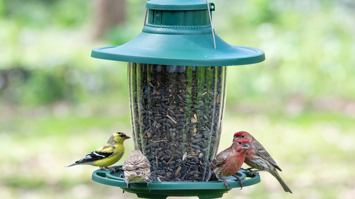 goldfinch and house finches on Stokes Select large easy fill plastic lantern