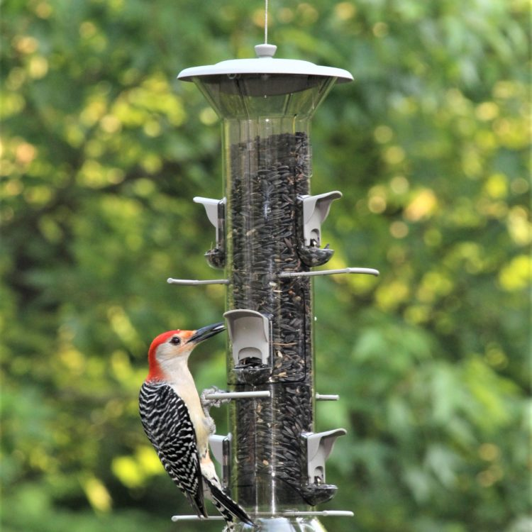 red-bellied woodpecker on Stokes Select Harmony Bird Feeder