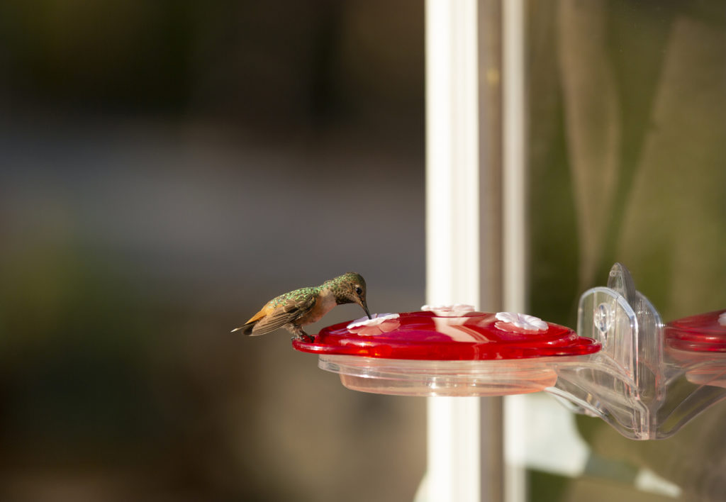 hummingbird feeding from window-mounted More Birds 3-in-1 hummingbird feeder