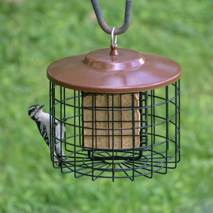 woodpecker on Squirrel-Proof Suet Feeder