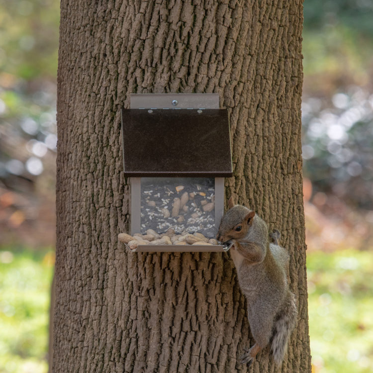 squirrel eating peanuts from Stokes Select Squirrel Lunch Box