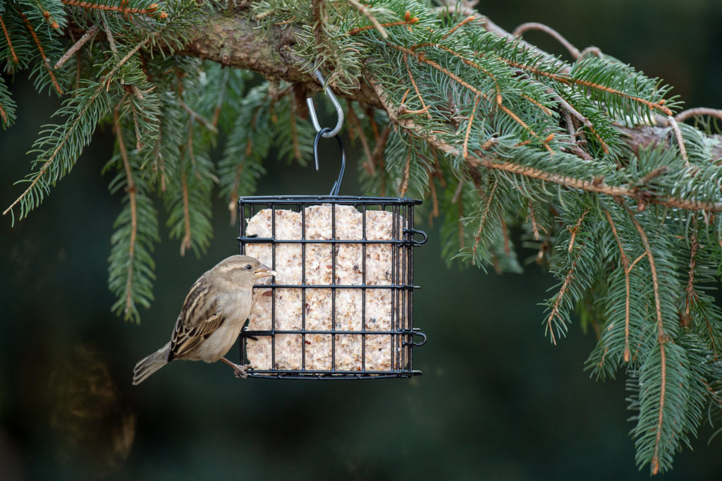 white-crowned sparrow eating from Suet Cage