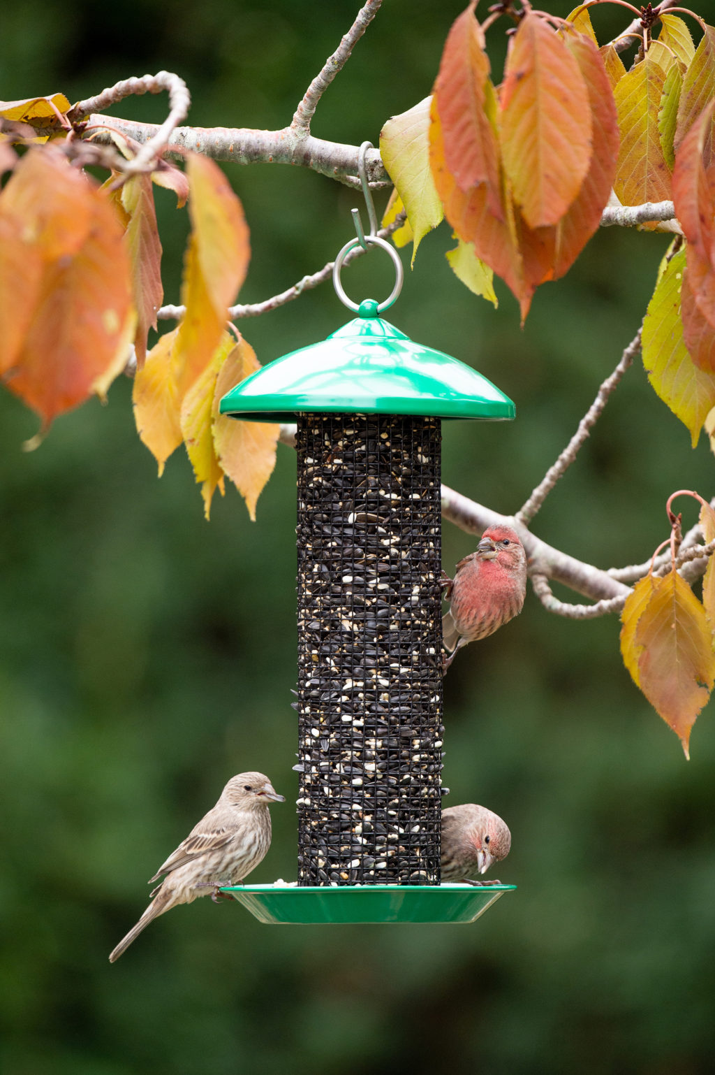 house finches eating from Mini Seed Screen Feeder