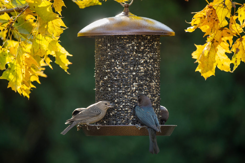 Northern Mockingbird and Brown-headed Cowbird eating from Sunflower Screen Feeder