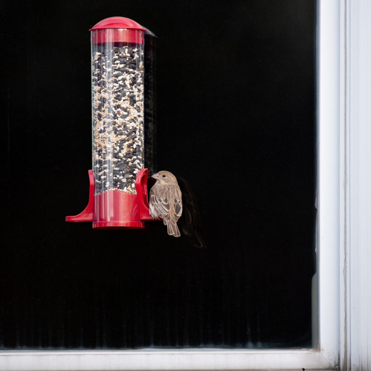 house finch eating from Window Tube Feeder