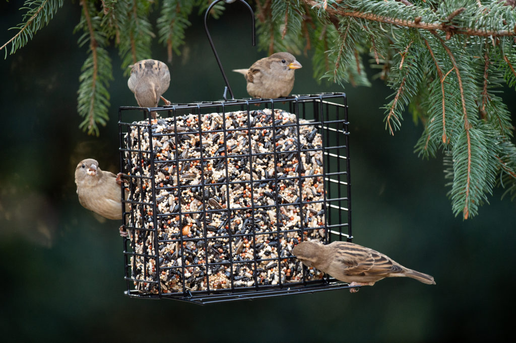 house sparrows eating from Grand Seed and Suet Cake Feeder
