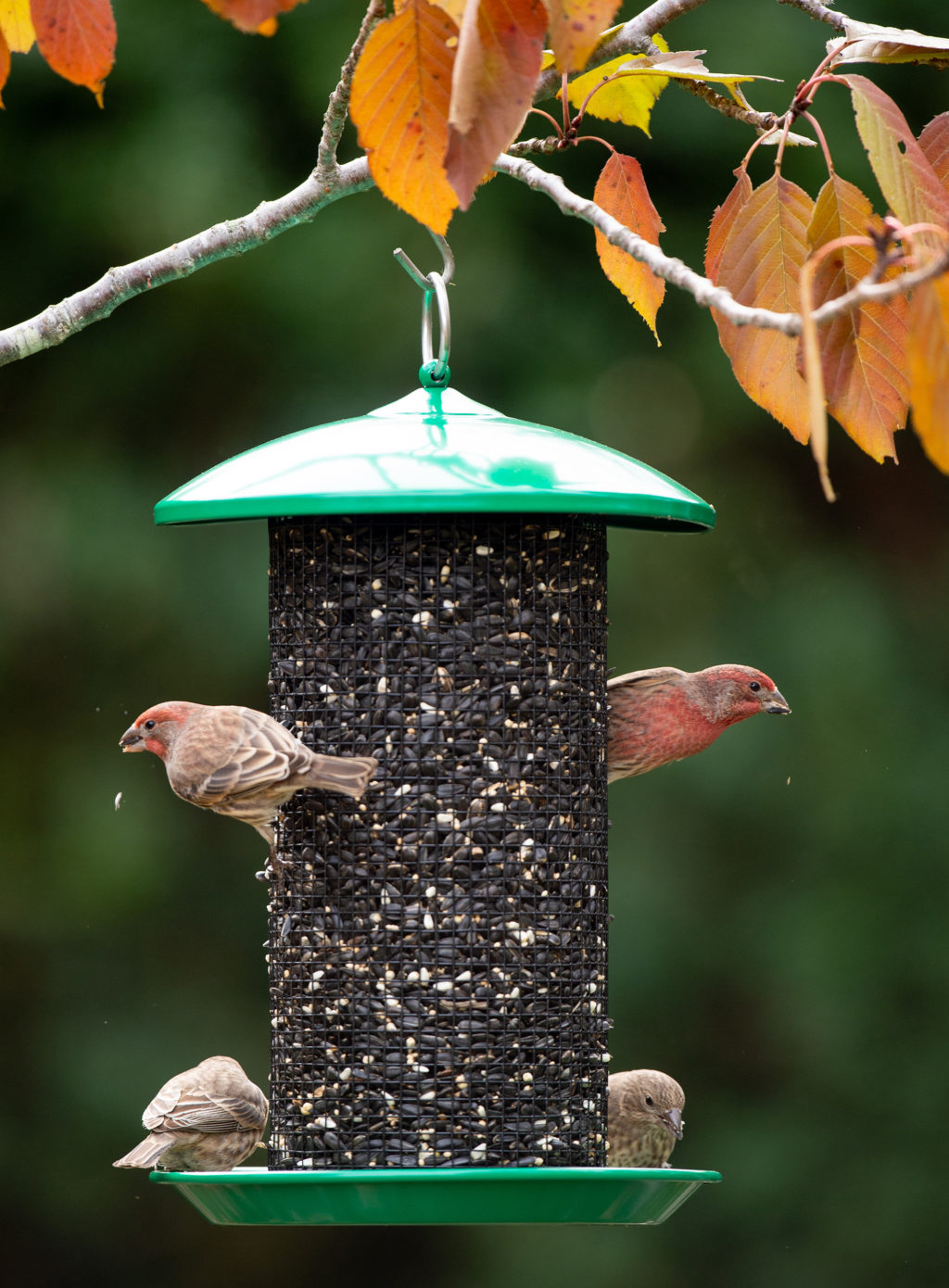 house finches eating from Seed Screen Feeder