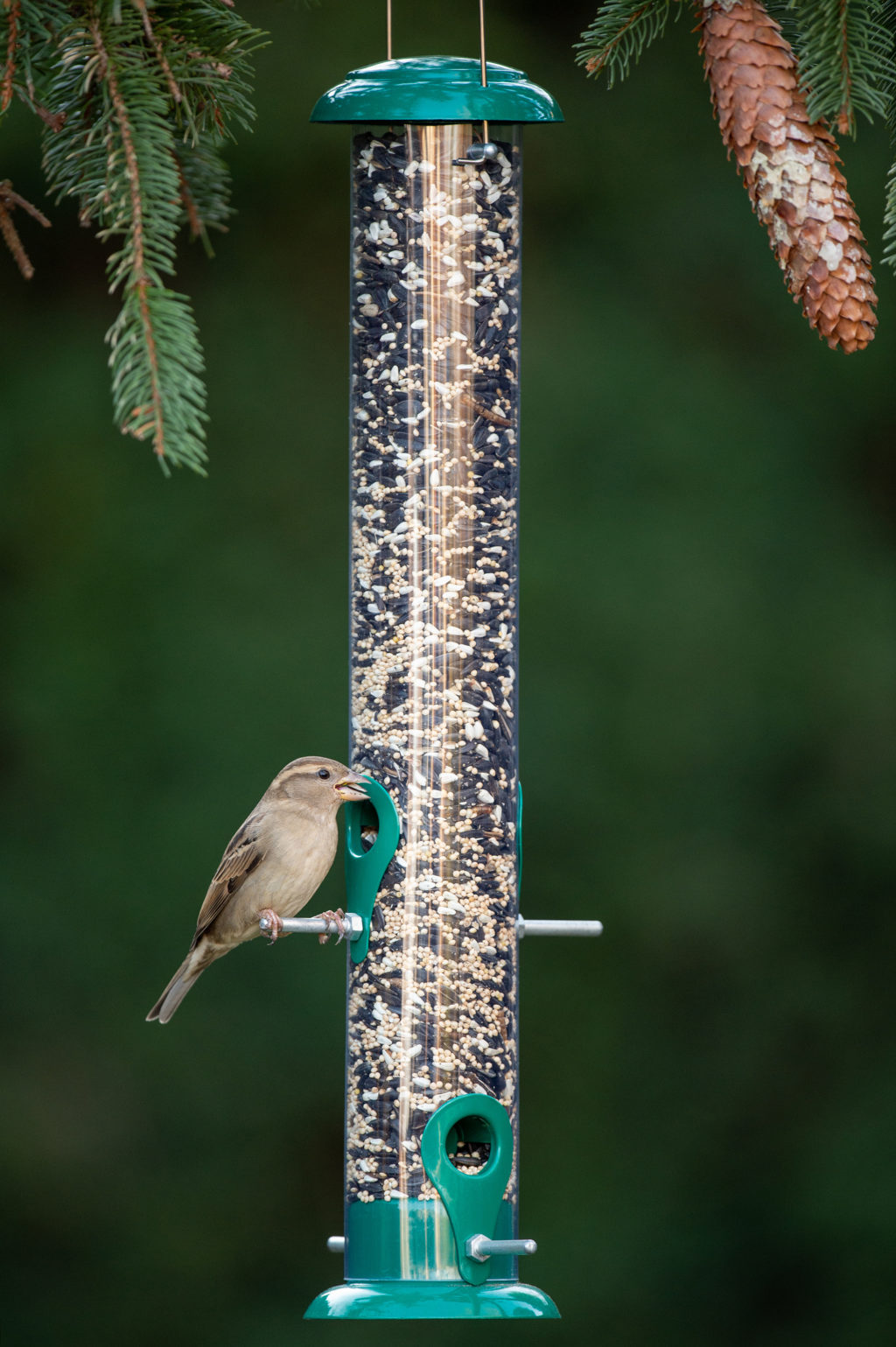 house sparrow eating from 19 in Wild Bird Tube Feeder