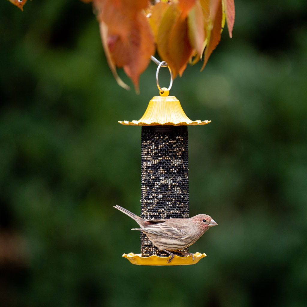 house finch on Little-Bit Finch Feeder