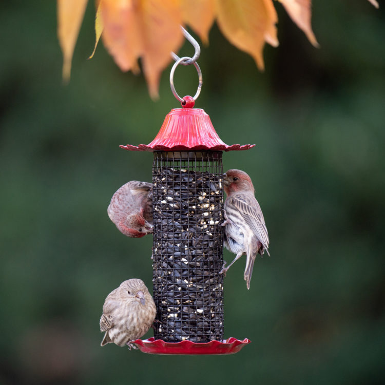 house finches on Little-Bit Sunflower Feeder