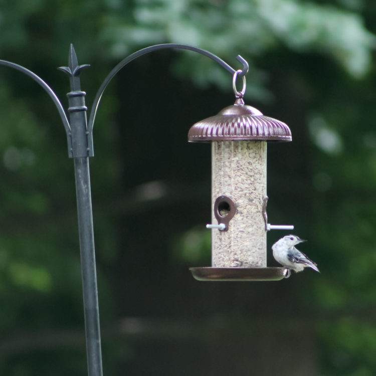 White-breasted Nuthatch eating from Prairie Tube bird feeder