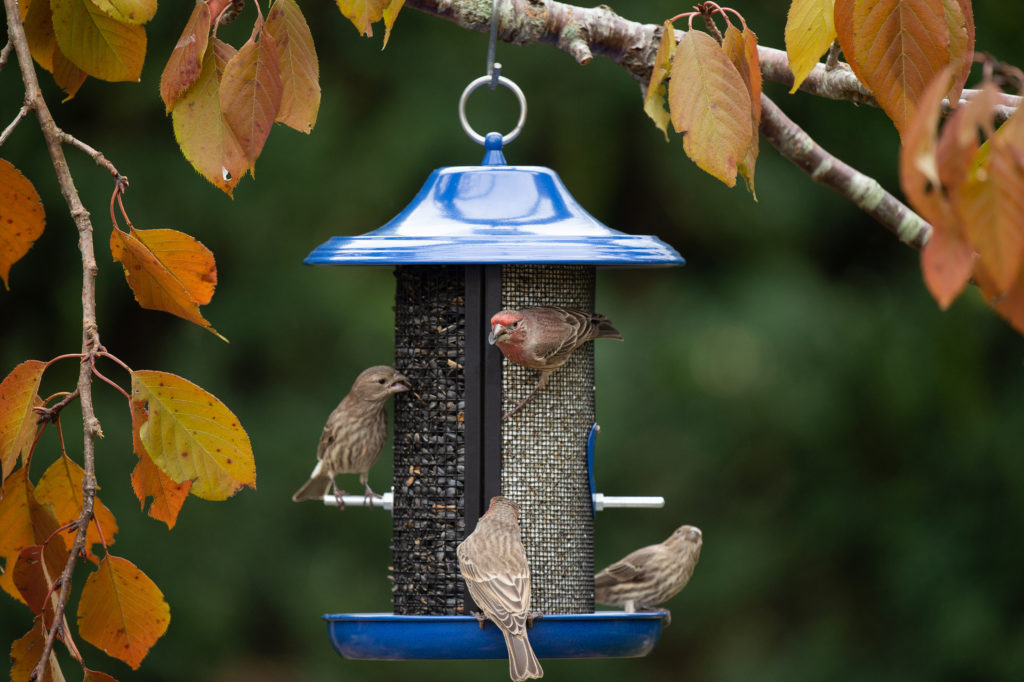 house finches eating from Cobalt Twin Feeder