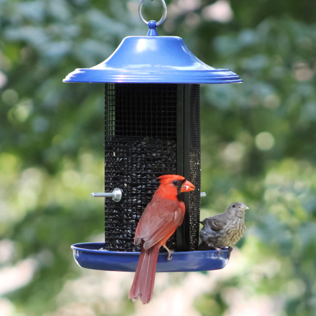 cardinal and house finch on Stokes Select Cobalt Twin Dual-Compartment Screen Feeder
