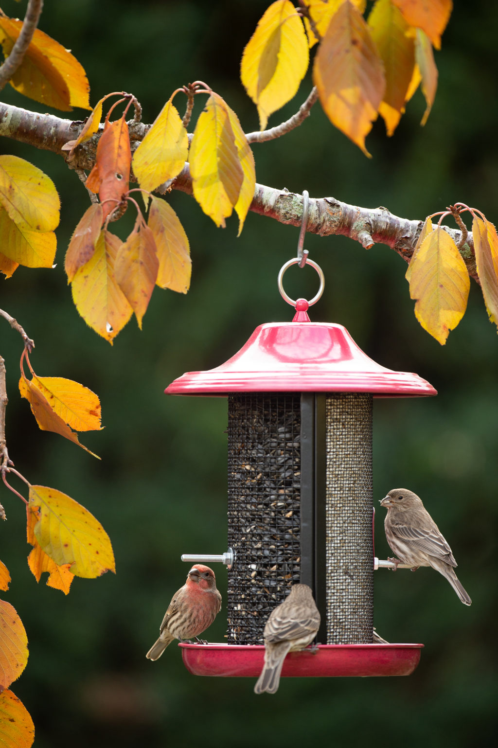house finches eating from Red Rock Twin Feeder