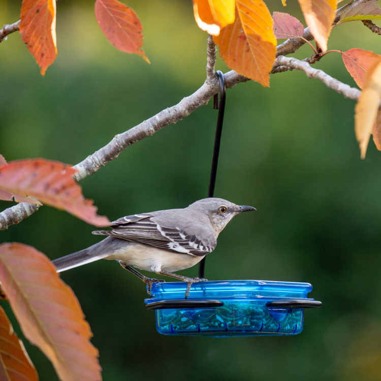 Northern Mockingbird eating mealworms from Snacks 'n' Treats Single Hanging Feeder