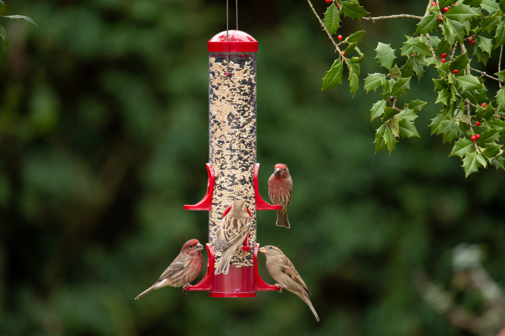 house finches and house sparrow eating from 15 in. Seed Tube