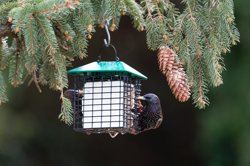 starlings eating from green Double Suet Feeder with Weather Guard