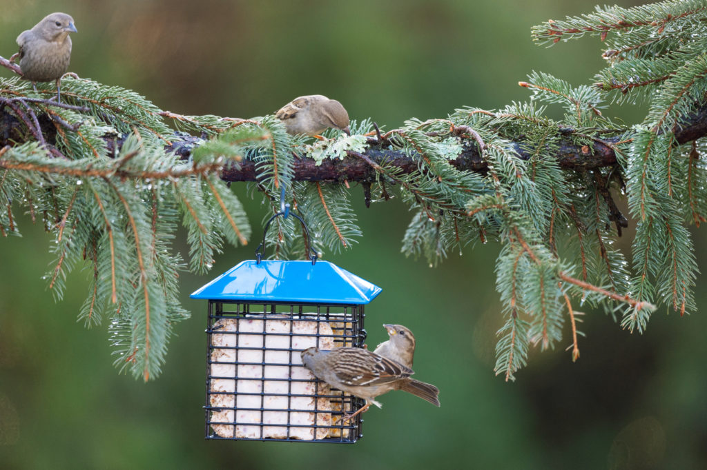 house sparrows eating from blue Double Suet Feeder with Weather Guard
