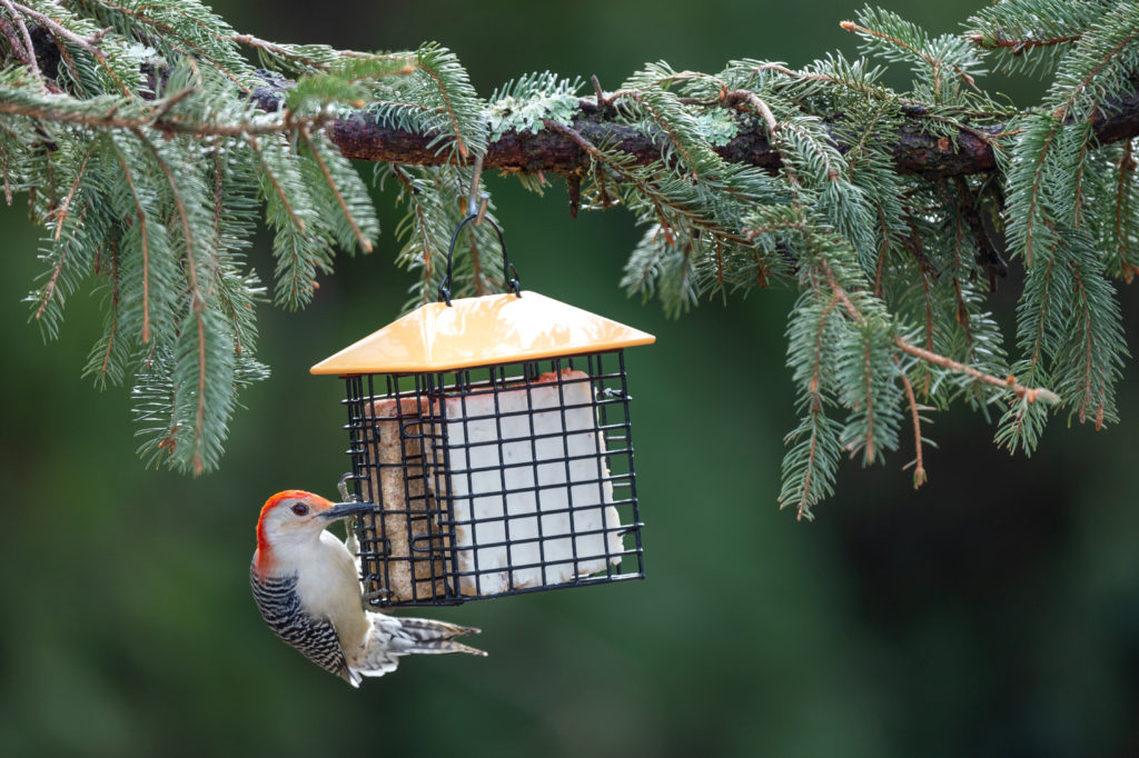 Red-bellied Woodpecker eating from yellow Double Suet Feeder with Weather Guard