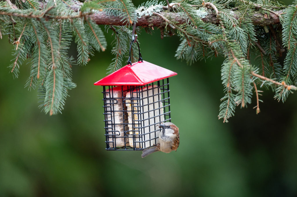house sparrow eating from red Double Suet Feeder with Weather Guard