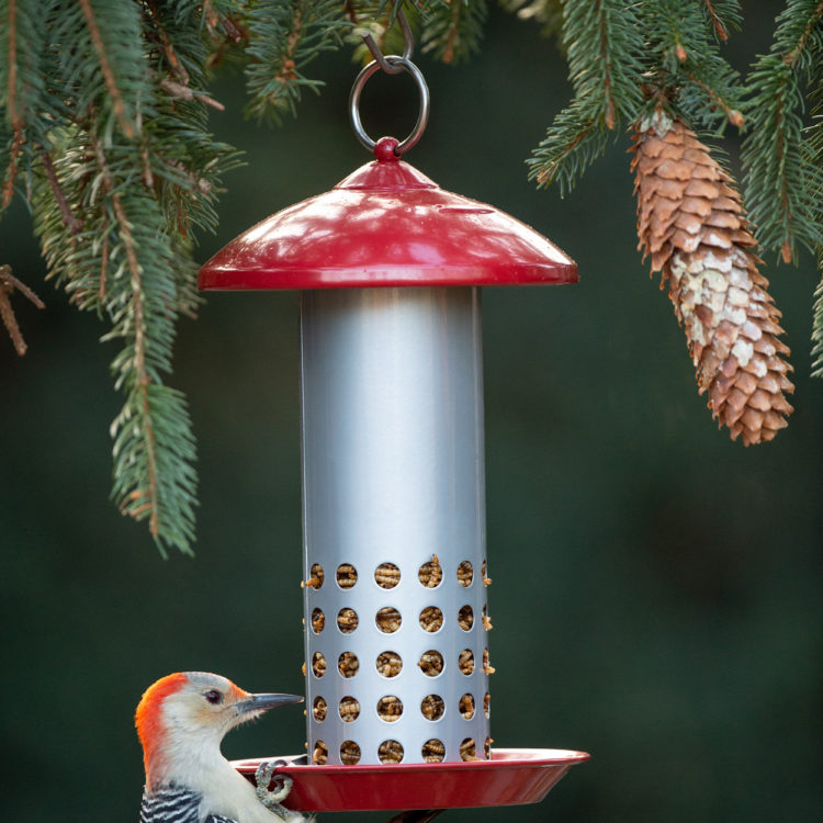 red-bellied woodpecker eating mealworms from Snacks 'n' Treats Tube Feeder