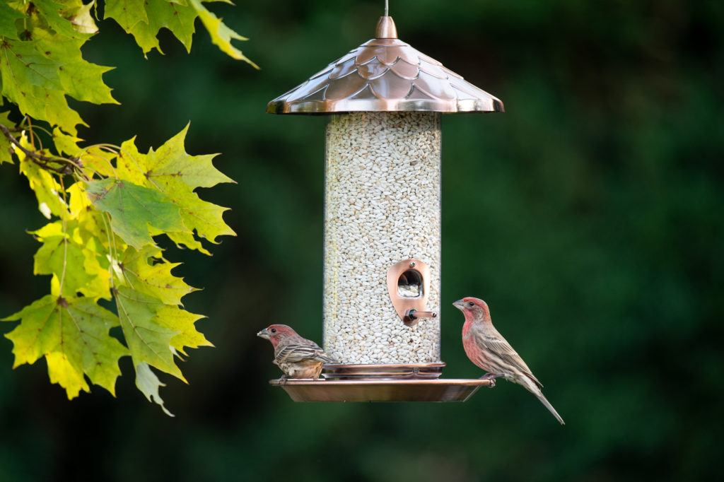 house finches eating from Copper Acorn Tube Feeder