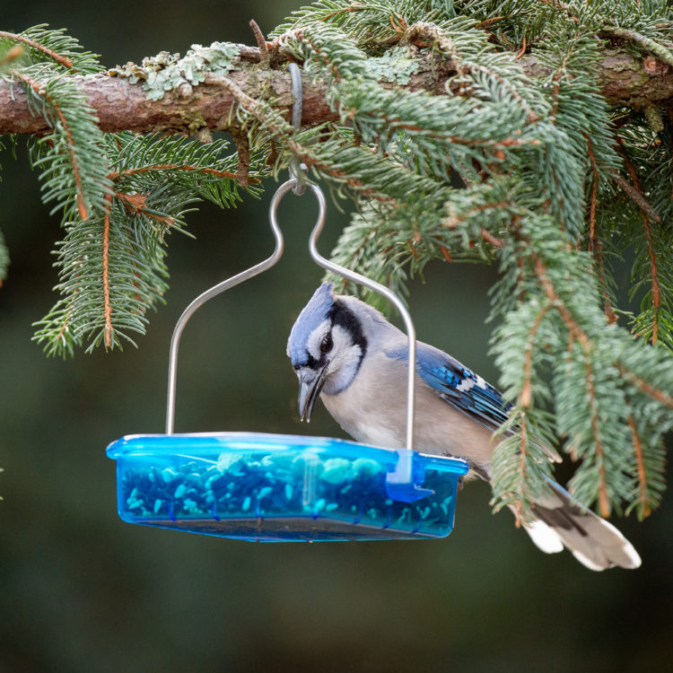 blue jay eating from Snacks 'n' Treats Fold-Down Hanging Dish Feeder