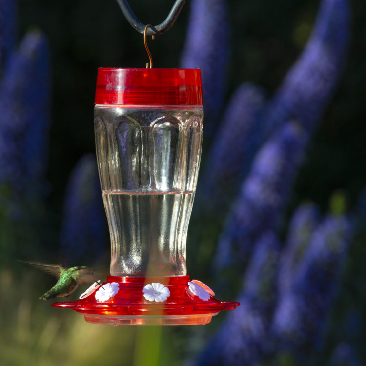 hummingbird feeding from More Birds 40 oz. Big Gulp Hummingbird Feeder