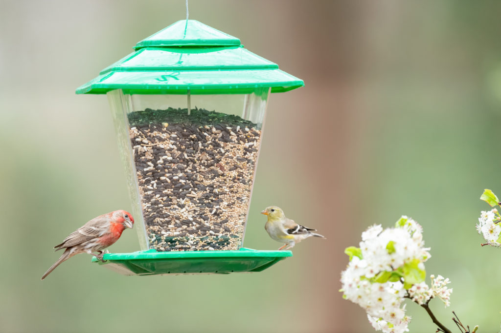 house finch and goldfinch eating from green Stokes Select Square Seed Hopper Bird Feeder