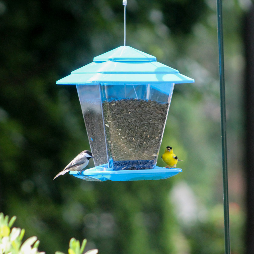 chickadee and goldfinch eating from blue Square Seed Bird Feeder