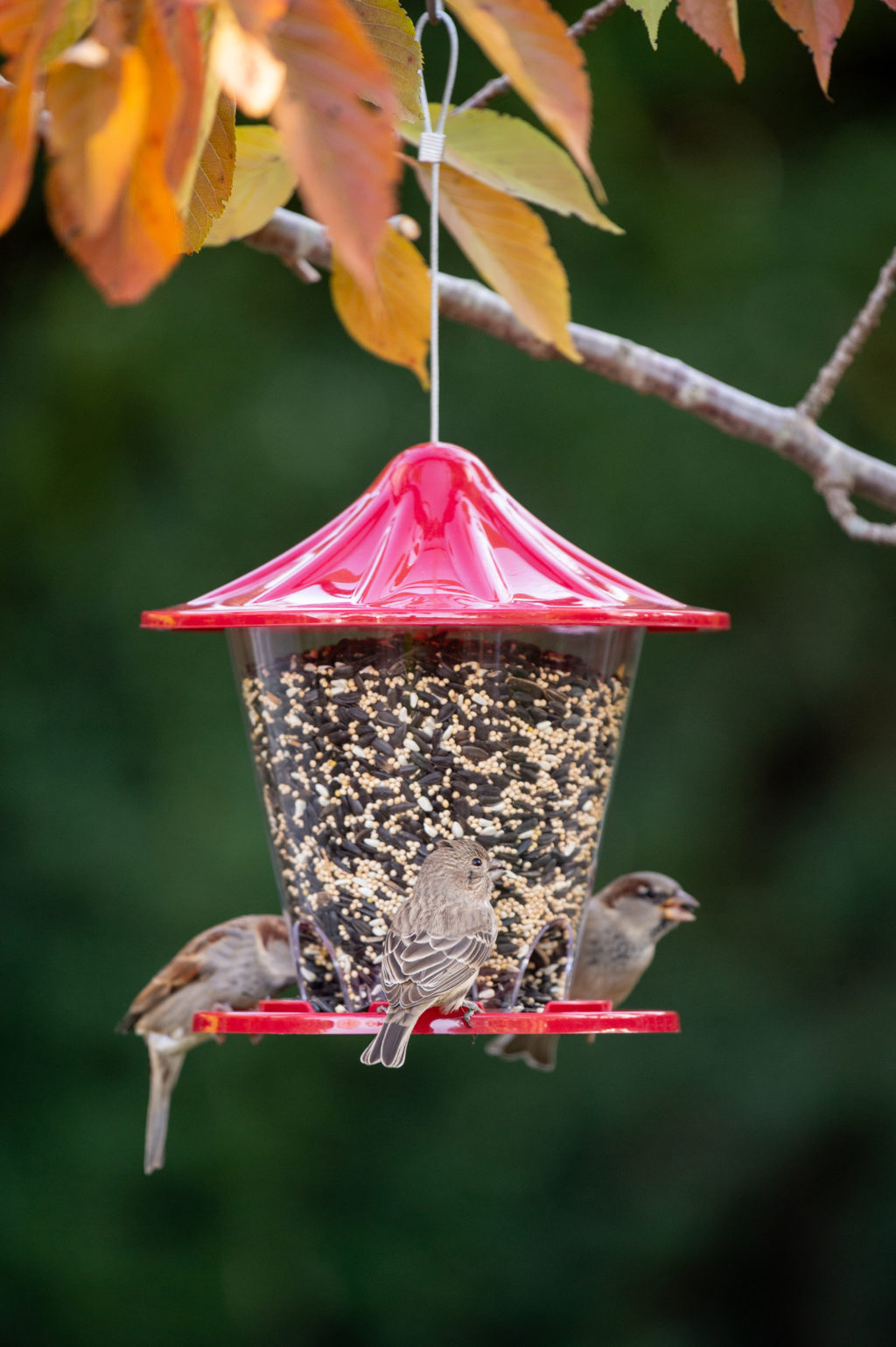 house finch and house sparrows eating from Red Round Seed Feeder
