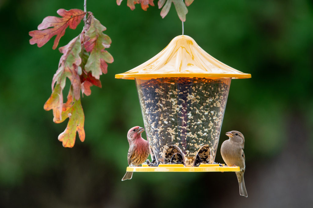 house finch and house sparrow eating from Yellow Round Seed Feeder