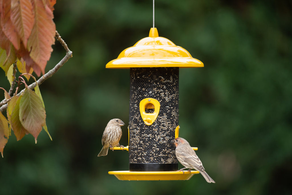 house finches eating from Sedona Screen Feeder