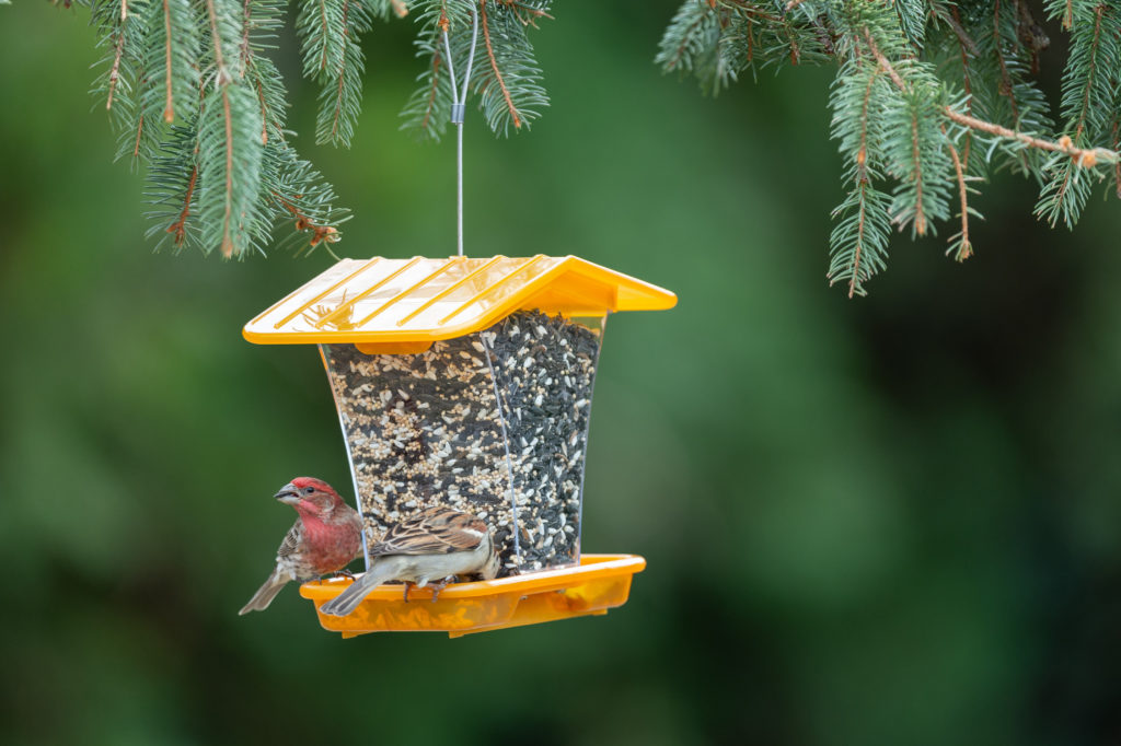 house finch and house sparrow eating from orange Hopper bird feeder