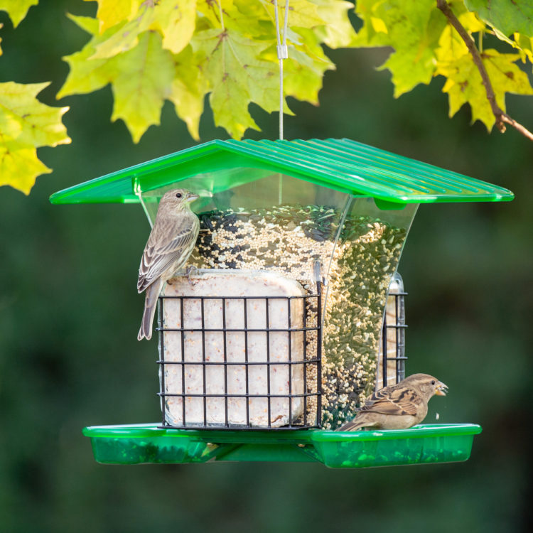 house finch and house sparrow eating from Large Hopper with Suet Holders