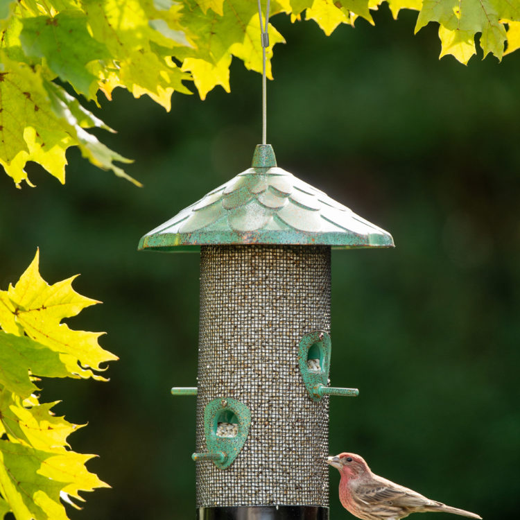 house finch eating from Stokes Select Acorn Screen Bird Feeder