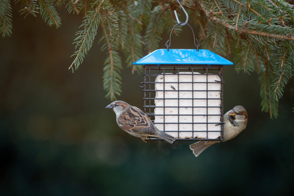 house sparrows eating from blue Single Suet Feeder with Weather Guard