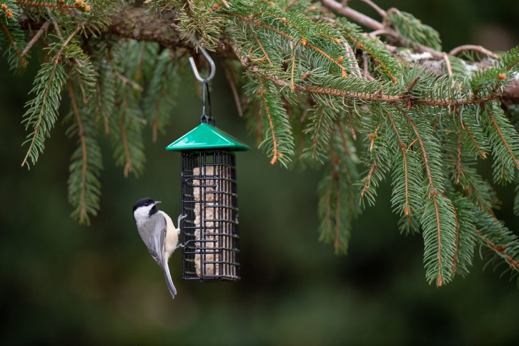 chickadee eating from green Single Suet Feeder with Weather Guard