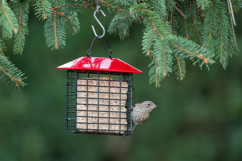 house finch perched on red Single Suet Feeder with Weather Guard