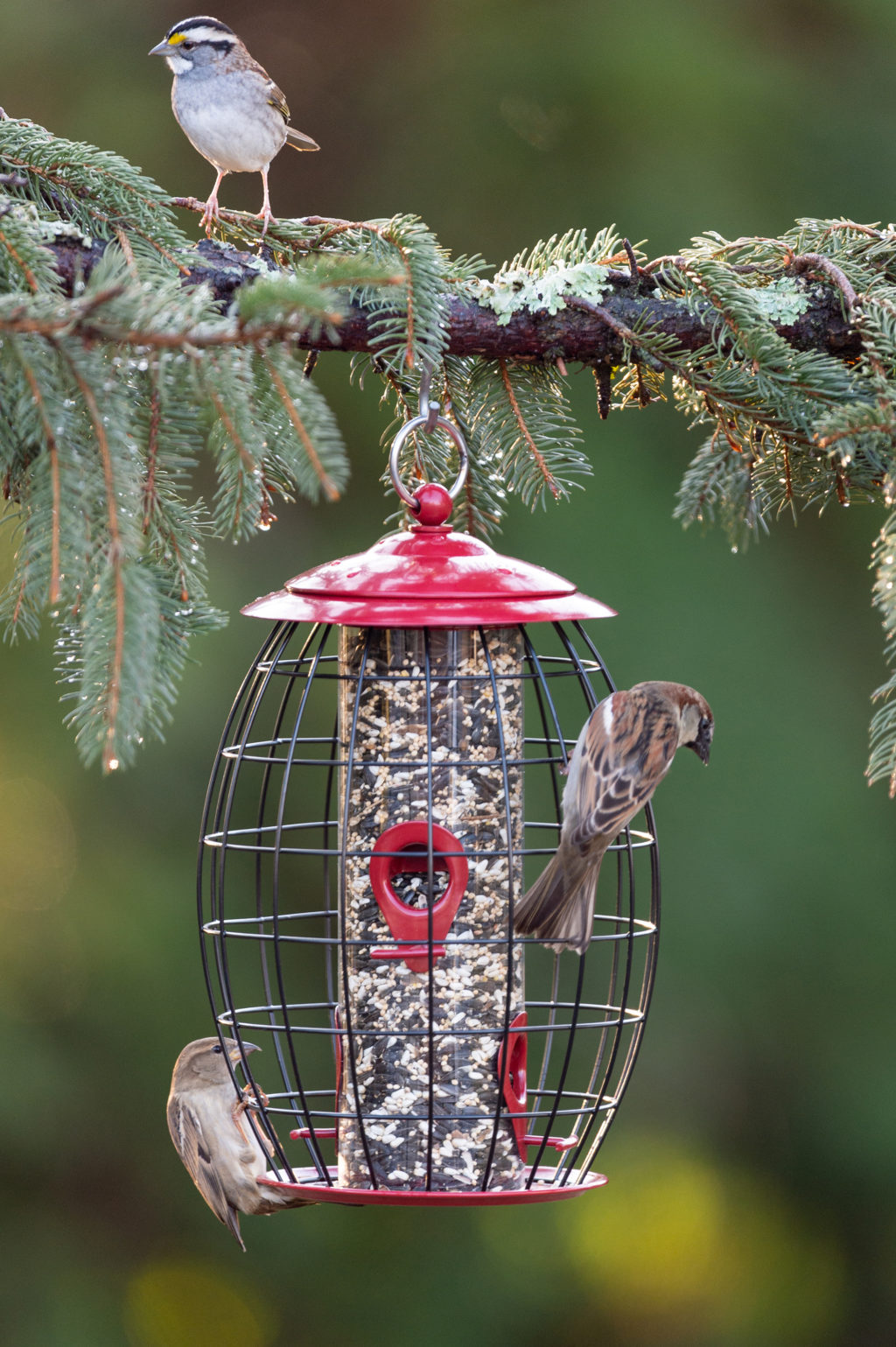 house sparrows eating from Sweet Tweet Cafe bird feeder