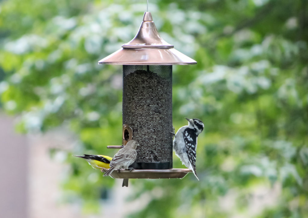 goldfinch, house finch and woodpecker on Stokes Select Copper Provincial Screen Feeder