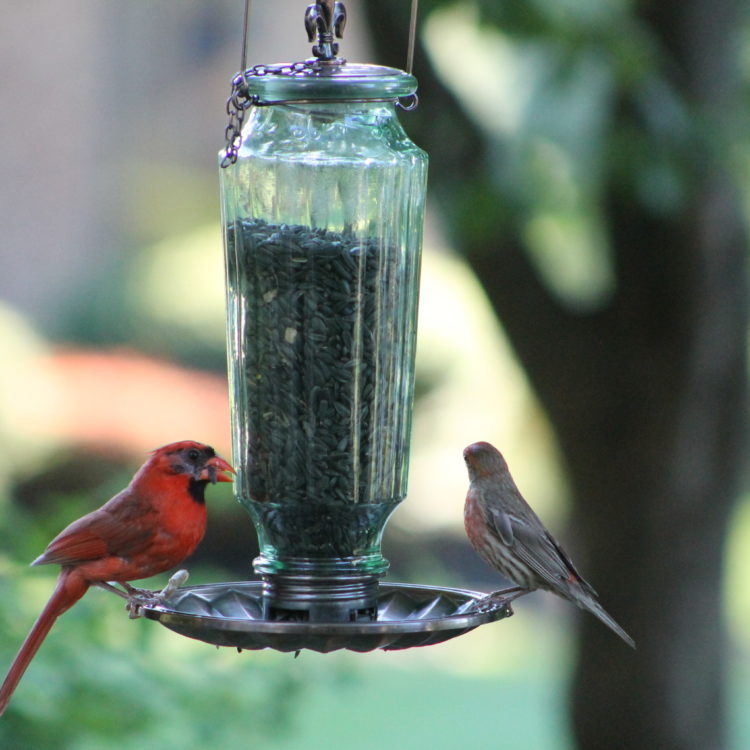 cardinal and house finch feeding from Stokes Select Lincoln Decorative Glass Feeder
