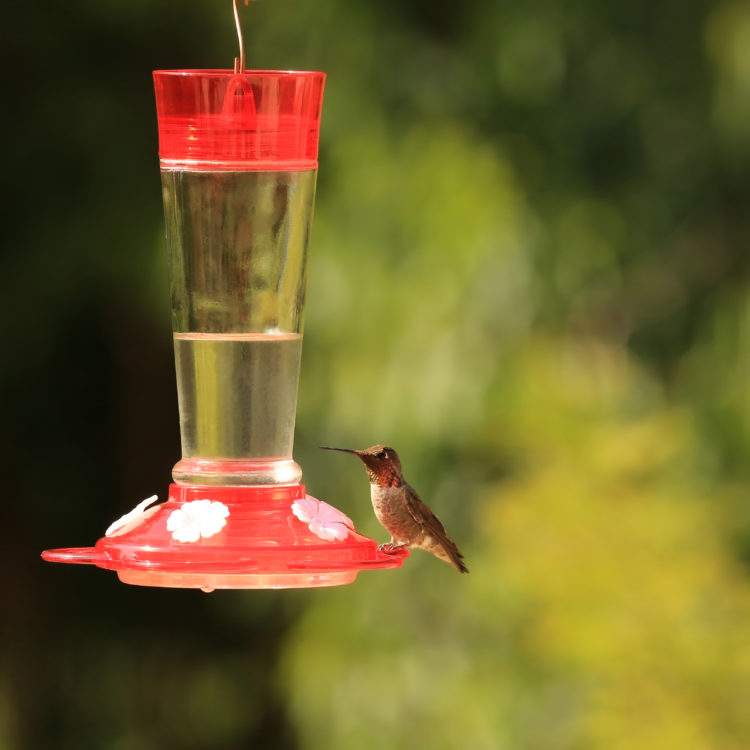 ruby hummingbird feeder with hummingbird