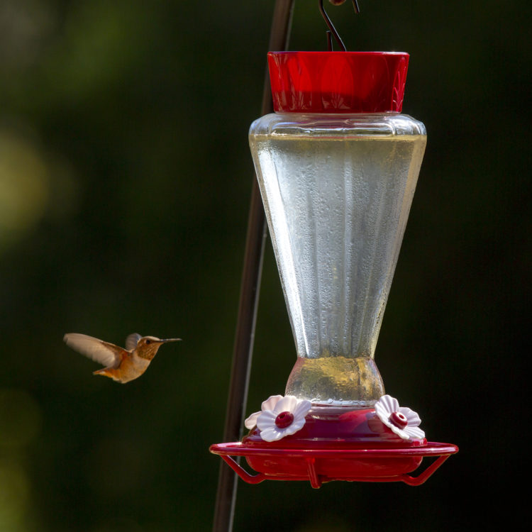 royal hummingbird feeder with hummingbird